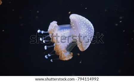 Beautiful colorful jellyfish in macro closeup shot swimming in aquarium with black background, smooth steady tracking camera shot, underwater wildlife natural beauty. stock photo