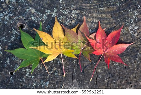 Beautiful colorful of Autumn leaves on tree bark background #559562251
