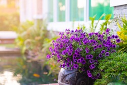 Beautiful colorful of freshness petunias flower, violet blossom, and growth in a pot near a window outside, balcony decorated in the summer season. Flower's balcony decor home concept.