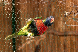 Beautiful colorful parrot on the wire mesh. Colored parrot bird behind the fence. Exotic wild animal at the zoo.