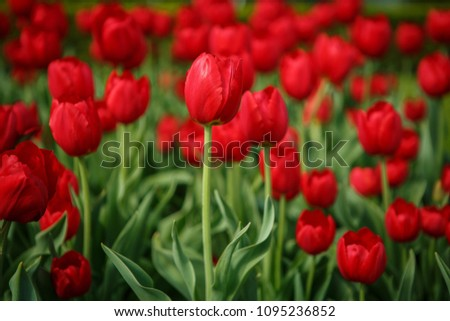 Beautiful colorful red tulip flowers bloom in spring garden.Decorative wallpaper with flower blossom in springtime.Beauty of nature poster.Vibrant natural colors