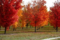 Beautiful colorful red, yellow, and orange  Maple trees in autumn season on green grass with cloudy sky  in Central Otago of South Island, New Zealand.