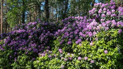 beautiful colorful rhododendrons during flowering