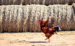 beautiful colorful rooster is dancing or wants to fly, on the background are haystacks, countryside, Bulgaria