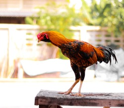 Beautiful colorful rooster standing on a wooden table with green trees background.