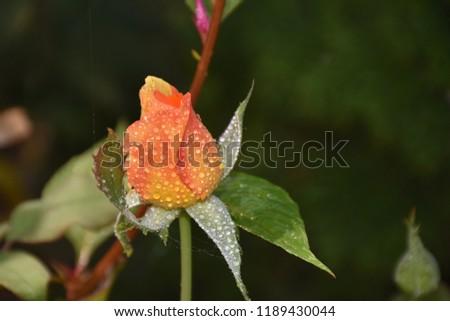 beautiful colorful rose   #1189430044