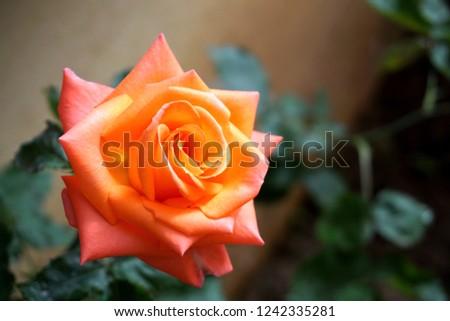 Beautiful colorful rose                     #1242335281