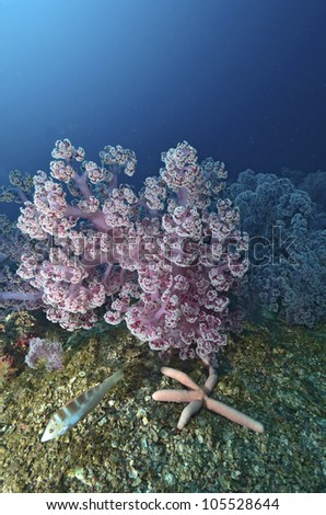 Beautiful colorful soft coral with diver, Similan, Thailand.