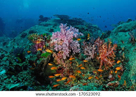 Beautiful colorful soft coral with diver, Similan, Thailand.  #170523092