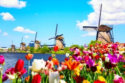Beautiful colorful spring landscape in Netherlands, Europe. Famous windmills in Kinderdijk village with tulips flowers flowerbed in Holland. Famous tourist attraction in Holland.