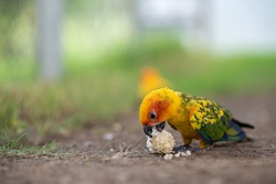 Beautiful colorful Sun Conure parrots eating on a floor
