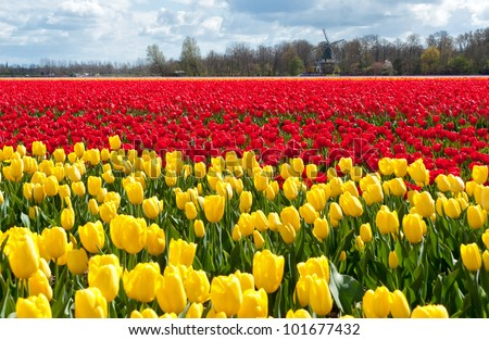 Beautiful colorful tulip field and Dutch house. Spring pink and yellow tulips, Netherlands (Holland)