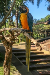 Beautiful colourful Ara Ararauna over tropical background. Blue-and-yellow macaw at Bali bird park ZOO. Blue-and-gold macaw, bird of Psittacidae family. One of the most famous parrots of the world.