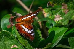 Beautiful Commander Butterfly at Satara