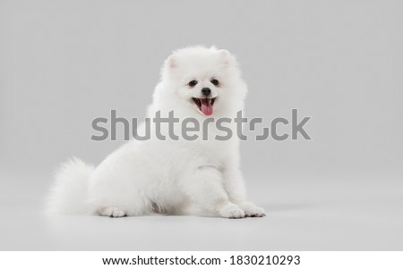 Beautiful companion. Spitz little dog is posing. Cute playful white doggy or pet playing on grey studio background. Concept of motion, action, movement, pets love. Looks happy, delighted, funny.