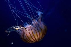 beautiful compass jellyfish close up