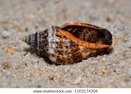 Beautiful conch of sea snail on sand #1103174306