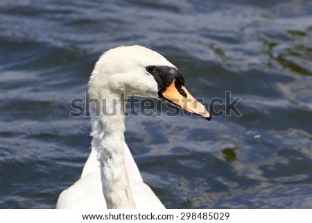 Beautiful confident female mute swan\'s portrait with the water on the background