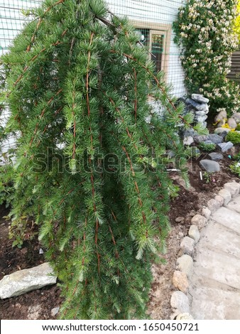beautiful coniferous tree Larix kaempferi Stiff Weeper on a stem with falling branches on the background of other garden plants. Landscape and garden design ストックフォト ©