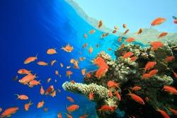 Beautiful Coral Reef with Lyretail Anthias fish