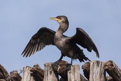 beautiful cormorant , Phalacrocorax brasilianus , spreading wings perched