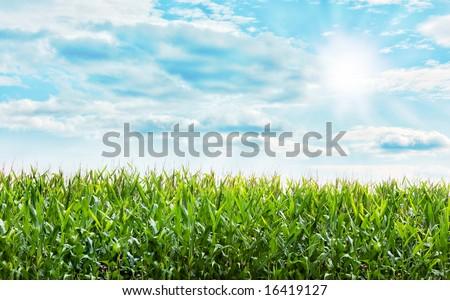 Beautiful Corn plants field with a nice blue pastel sky