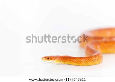 Beautiful corn snake male isolated on white background