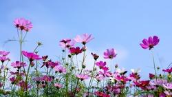beautiful cosmos flower blooming