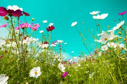 beautiful cosmos flowers are blooming in vintage tones with bright sky background.