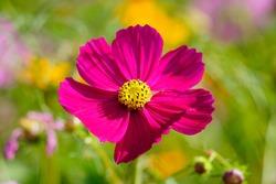 Beautiful cosmos flowers(Cosmos Bipinnatus) in the garden