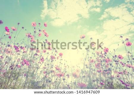 Beautiful cosmos flowers in garden. #1416947609