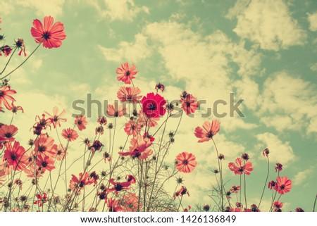 Beautiful cosmos flowers in garden. #1426136849