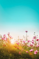 Beautiful cosmos flowers in garden at, Thailand. Vintage color tone style.