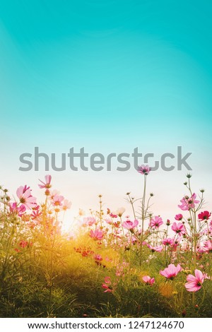 Beautiful cosmos flowers in garden at, Thailand. Vintage color tone style. #1247124670