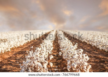 Beautiful Cotton Fields from West Texas #766799668