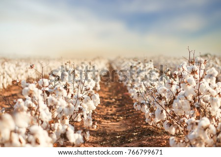 Beautiful Cotton Fields from West Texas #766799671
