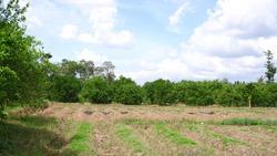 beautiful countryside panorama with orange grove at daytime in Banyuwangi