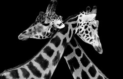 Beautiful Couple Giraffe Hug With Each Other