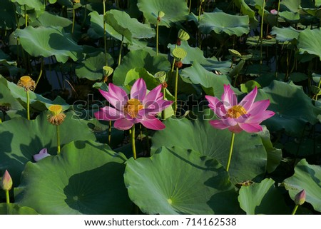 Beautiful couple lotus flowers in sunny day. Pink lotus and green leaf in field