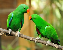 Beautiful couple of green eclectus parrots
