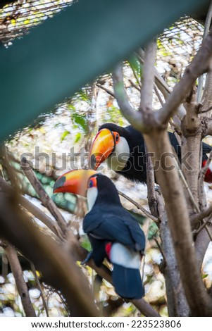 Beautiful Couple of Tucan birds at the Zoo. Colorful Animal.