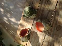 Beautiful cowrie shell in sunsine