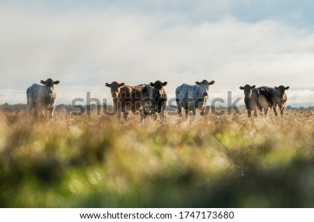 beautiful cows grazing on grass ansdhay Stock foto ©
