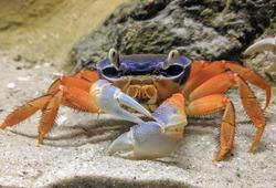 Beautiful Crab In Water Aquarium