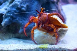 Beautiful craw fish in a big shell walking under salty water in an aquarium. Red Diogenes-crab with big eyes in aquarium with blue water