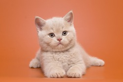 Beautiful cream british kitten boy with a smart look in playful poses on an orange background