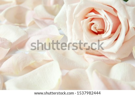 beautiful cream rose with petals  background, rose and petals closeup