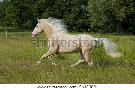 Beautiful cremello pureblood horse running in green meadow