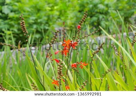 Beautiful Crocosmia flowers in nature background