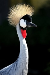 Beautiful Crowned Crane bird backlit by the sun
